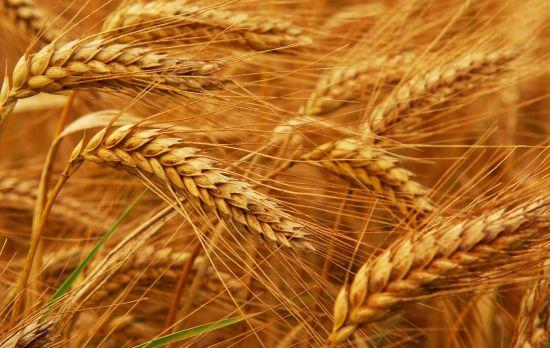 Reifer Weizen